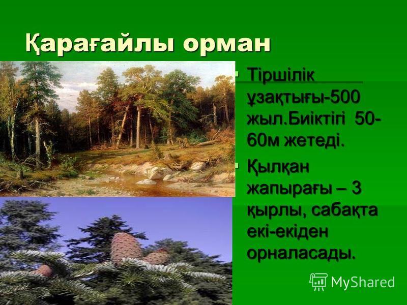 Қ ара ғ айлы орман Тіршілік ұзақтығы-500 жыл.Биіктігі 50- 60м жетеді. Тіршілік ұзақтығы-500 жыл.Биіктігі 50- 60м жетеді. Қылқан жапырағы – 3 қырлы, сабақта екі-екіден орналасады. Қылқан жапырағы – 3 қырлы, сабақта екі-екіден орналасады.
