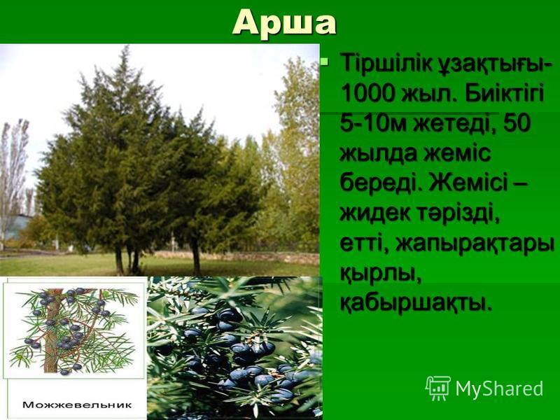 Арша Тіршілік ұзақтығы- 1000 жыл. Биіктігі 5-10м жетеді, 50 жылда жеміс береді. Жемісі – жидек тәрізді, етті, жапырақтары қырлы, қабыршақты. Тіршілік ұзақтығы- 1000 жыл. Биіктігі 5-10м жетеді, 50 жылда жеміс береді. Жемісі – жидек тәрізді, етті, жапы