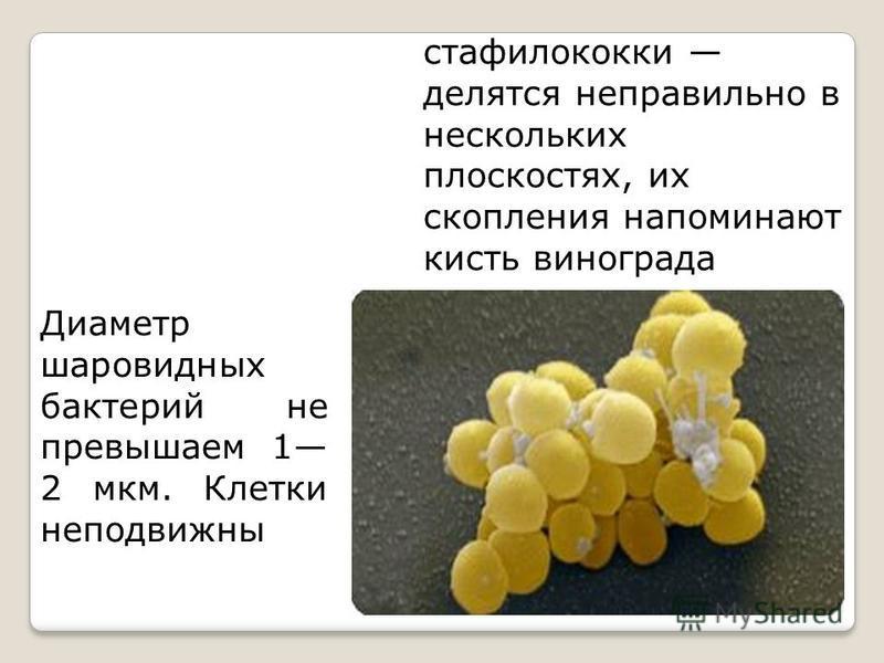 стафилококки делятся неправильно в нескольких плоскостях, их скопления напоминают кисть винограда Диаметр шаровидных бактерий не превышаем 1 2 мкм. Клетки неподвижны