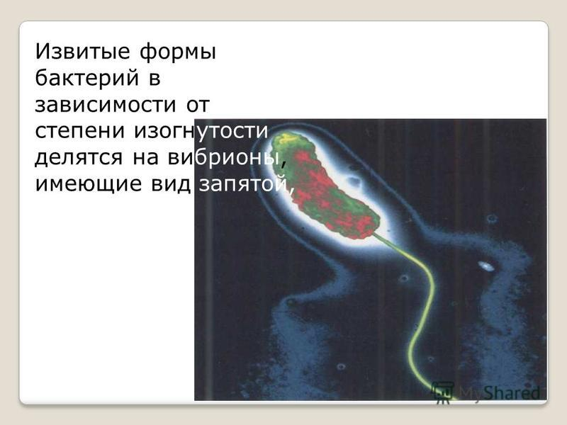 Извитые формы бактерий в зависимости от степени изогнутости делятся на вибрионы, имеющие вид запятой,
