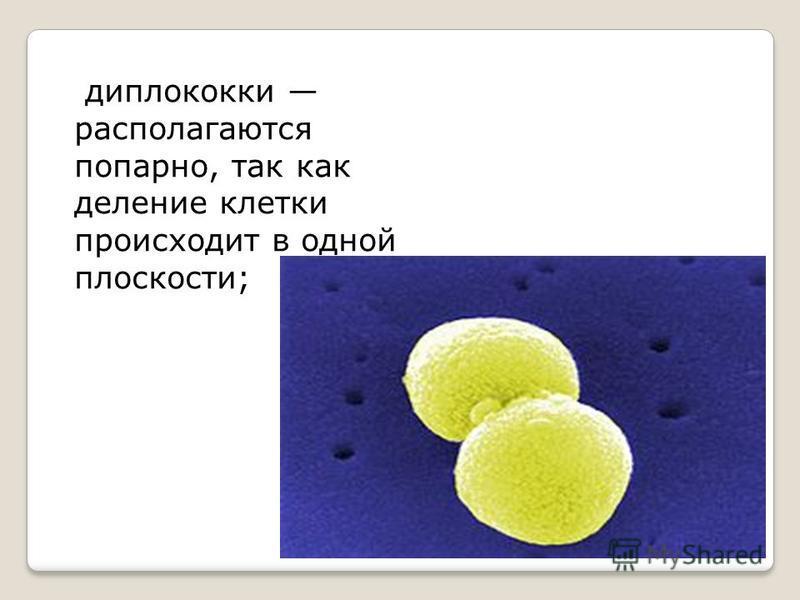 диплококки располагаются попарно, так как деление клетки происходит в одной плоскости;