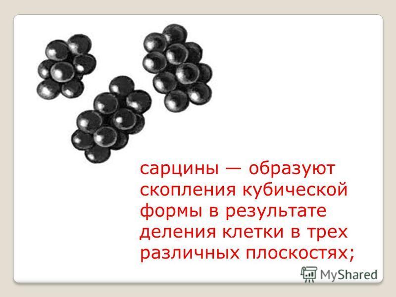 сарцины образуют скопления кубической формы в результате деления клетки в трех различных плоскостях;