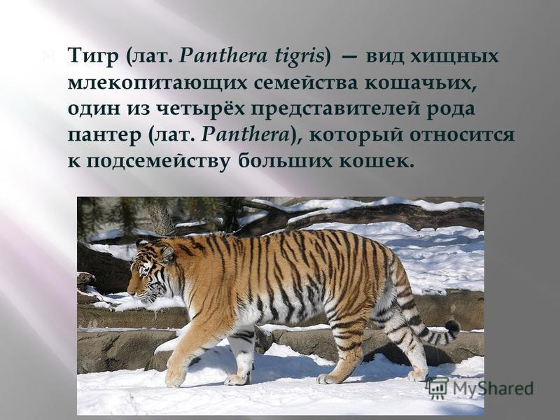 Тигр ( лат. Panthera tigris) вид хищных млекопитающих семейства кошачьих, один из четырёх представителей рода пантер ( лат. Panthera), который относится к подсемейству больших кошек.
