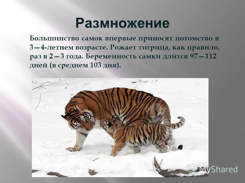 Размножение Большинство самок впервые приносят потомство в 34- летнем возрасте. Рожает тигрица, как правило, раз в 23 года. Беременность самки длится 97112 дней ( в среднем 103 дня ).