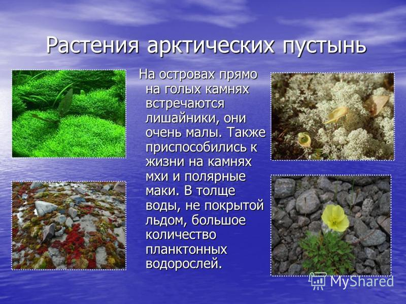 Растения арктических пустынь Растения арктических пустынь На островах прямо на голых камнях встречаются лишайники, они очень малы. Также приспособились к жизни на камнях мхи и полярные маки. В толще воды, не покрытой льдом, большое количество планкто