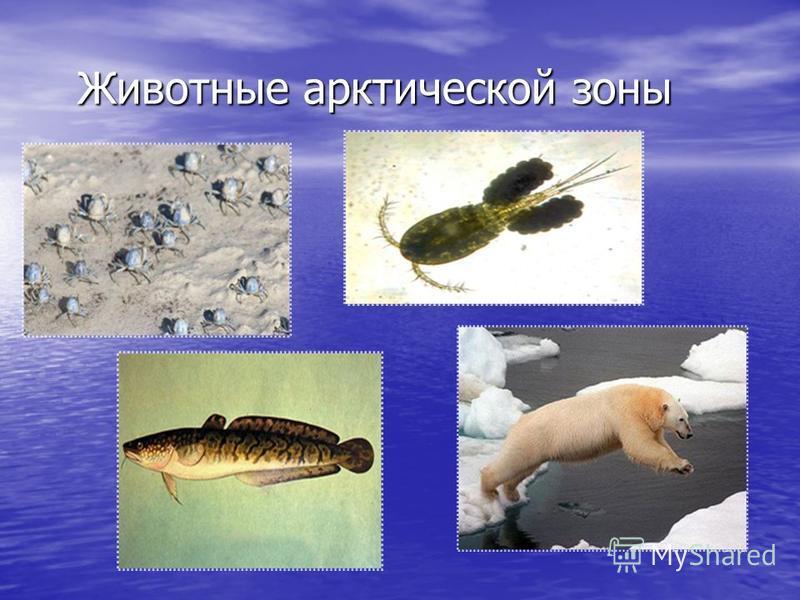 Животные арктической зоны Животные арктической зоны