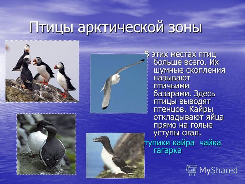 Птицы арктической зоны Птицы арктической зоны В этих местах птиц больше всего. Их шумные скопления называют птичьими базарами. Здесь птицы выводят птенцов. Кайры откладывают яйца прямо на голые уступы скал. тупики кайра чайка гагарка тупики кайра чай