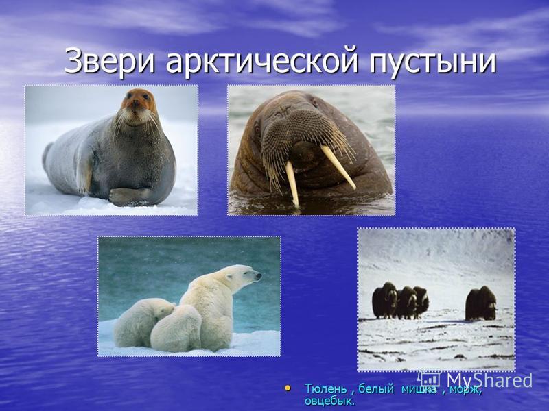 Звери арктической пустыни Звери арктической пустыни Тюлень, белый мишка, морж, овцебык. Тюлень, белый мишка, морж, овцебык.