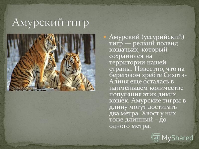 Амурский (уссурийский) тигр редкий подвид кошачьих, который сохранился на территории нашей страны. Известно, что на береговом хребте Сихотэ- Алиня еще осталась в наименьшем количестве популяция этих диких кошек. Амурские тигры в длину могут достигать