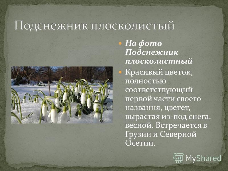 На фото Подснежник плосколистный Красивый цветок, полностью соответствующий первой части своего названия, цветет, вырастая из-под снега, весной. Встречается в Грузии и Северной Осетии.