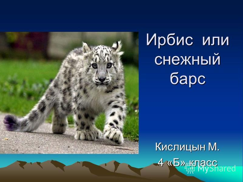 Ирбис или снежный барс Кислицын М. 4 «Б» класс