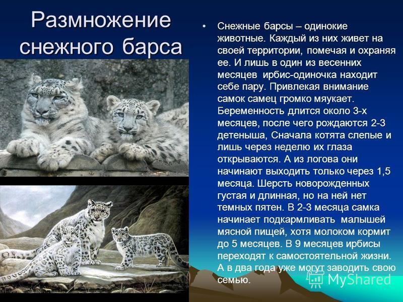 Размножение снежного барса Снежные барсы – одинокие животные. Каждый из них живет на своей территории, помечая и охраняя ее. И лишь в один из весенних месяцев ирбис-одиночка находит себе пару. Привлекая внимание самок самец громко мяукает. Беременнос