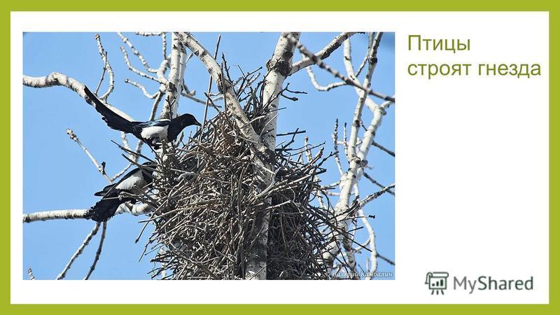 Птицы строят гнезда