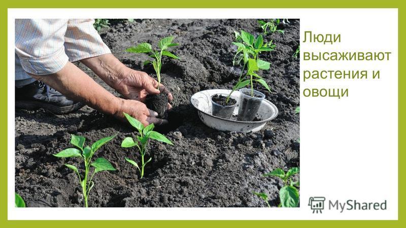 Люди высаживают растения и овощи