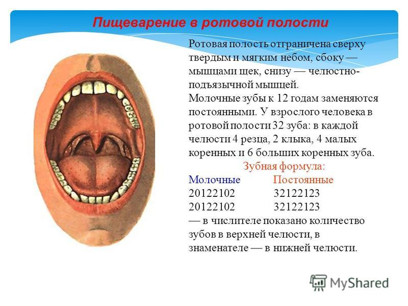 Ротовая полость отграничена сверху твердым и мягким небом, сбоку мышцами щек, снизу челюстно- подъязычной мышцей. Молочные зубы к 12 годам заменяются постоянными. У взрослого человека в ротовой полости 32 зуба: в каждой челюсти 4 резца, 2 клыка, 4 ма
