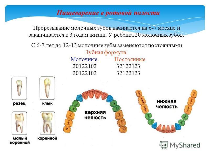 Прорезывание молочных зубов начинается на 6-7 месяце и заканчивается к 3 годам жизни. У ребенка 20 молочных зубов. С 6-7 лет до 12-13 молочные зубы заменяются постоянными Зубная формула: Молочные Постоянные 20122102 32122123 Пищеварение в ротовой пол