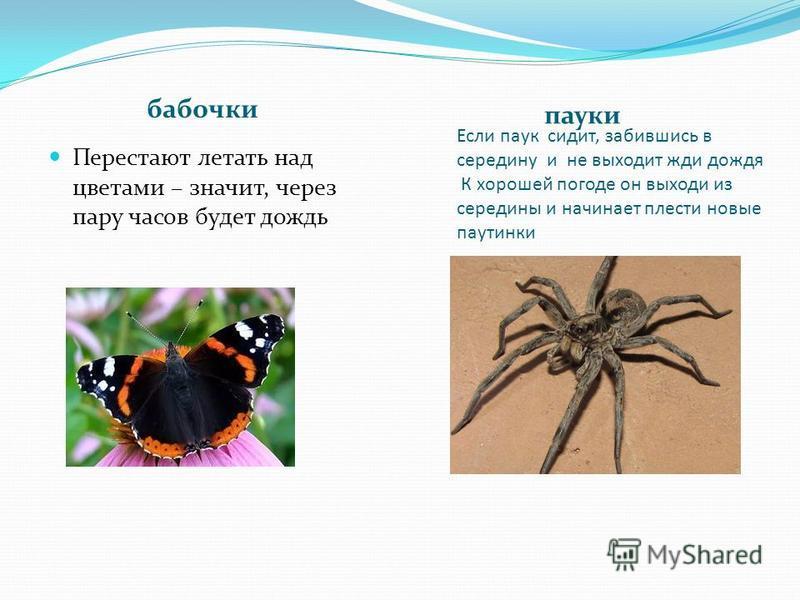 Если паук сидит, забившись в середину и не выходит жди дождя К хорошей погоде он выходи из середины и начинает плести новые паутинки бабочки пауки Перестают летать над цветами – значит, через пару часов будет дождь