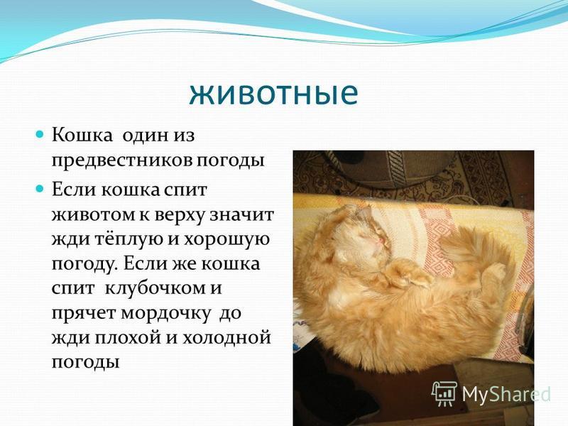 животные Кошка один из предвестников погоды Если кошка спит животом к верху значит жди тёплую и хорошую погоду. Если же кошка спит клубочком и прячет мордочку до жди плохой и холодной погоды