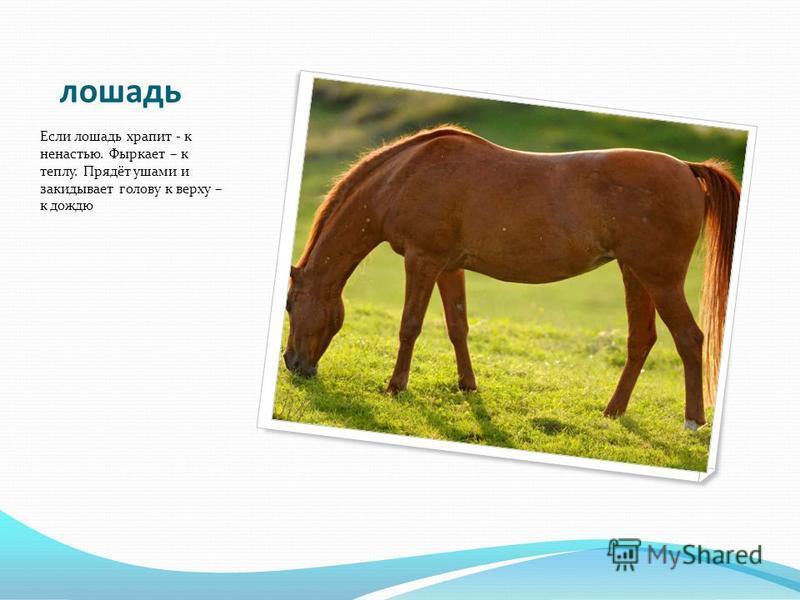 лошадь Если лошадь храпит - к ненастью. Фыркает – к теплу. Прядёт ушами и закидывает голову к верху – к дождю