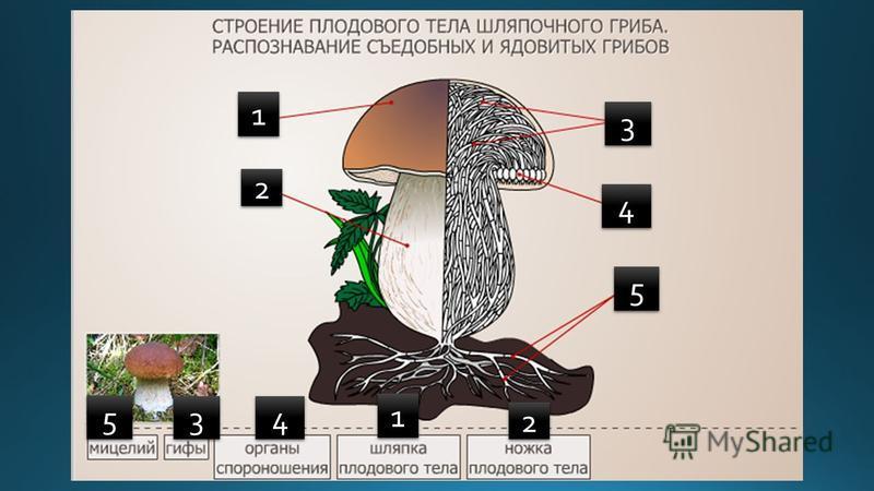 1 - плодовое тело; 2 - шляпка; 3 - ножка; 4 - грибница. 1 1 2 2 3 3 4 4 5 5