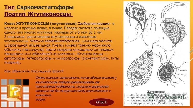 Тип Тип Саркомастигофоры Подтип Жгутиконосцы Класс ЖГУТИКОНОСЦЫ (жгутиковые) Свободноживущие - в морских и пресных водах, в почве. Передвигаются с помощью одного или многих жгутиков. Размеры от 2-5 мкм до 1 мм. 2 подкласса: растительные жгутиконосцы