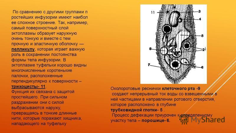 По сравнению с другими группами п ростейших инфузории имеют наибол ее сложное строение. Так, например, самый поверхностный слой эктоплазмы образует наружную очень тонкую и вместе с тем прочную и эластичную оболочку пелликулу, которая играет важную ро