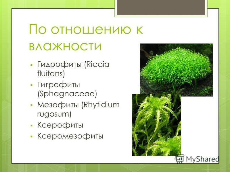 По отношению к влажности Гидрофиты (Riccia fluitans) Гигрофиты (Sphagnaceae) Мезофиты (Rhytidium rugosum) Ксерофиты Ксеромезофиты