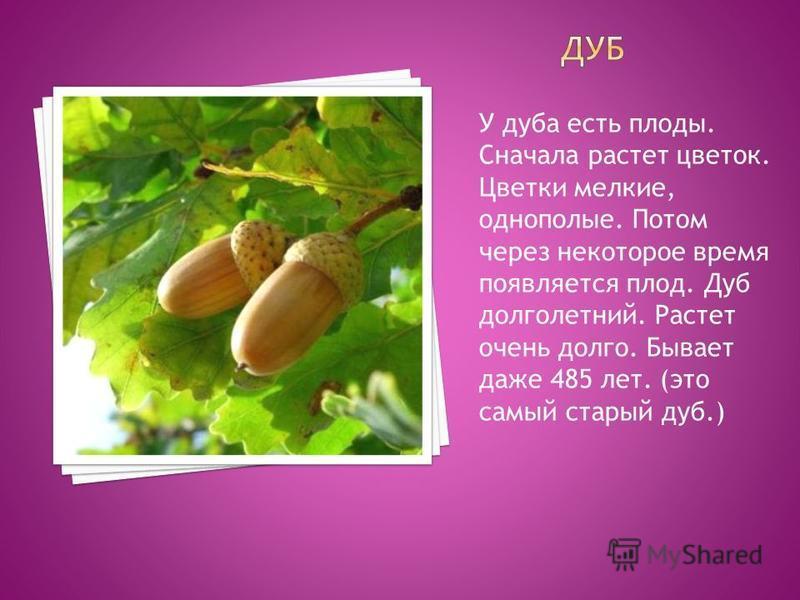 У дуба есть плоды. Сначала растет цветок. Цветки мелкие, однополые. Потом через некоторое время появляется плод. Дуб долголетний. Растет очень долго. Бывает даже 485 лет. (это самый старый дуб.)