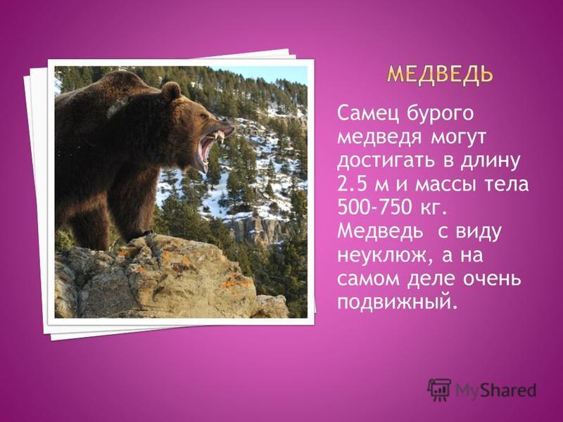 Самец бурого медведя могут достигать в длину 2.5 м и массы тела 500-750 кг. Медведь с виду неуклюж, а на самом деле очень подвижный.