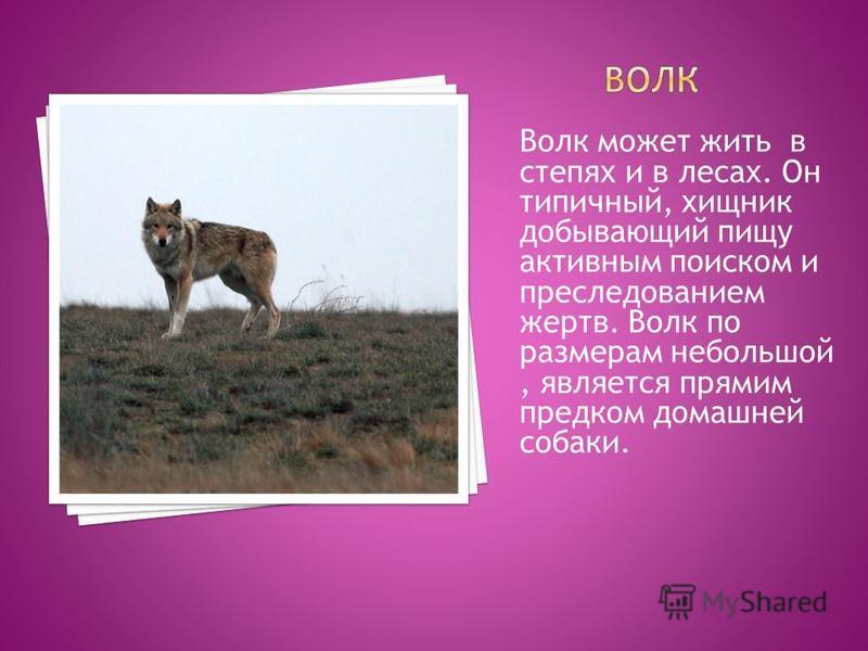 Волк может жить в степях и в лесах. Он типичный, хищник добывающий пищу активным поиском и преследованием жертв. Волк по размерам небольшой, является прямим предком домашней собаки.