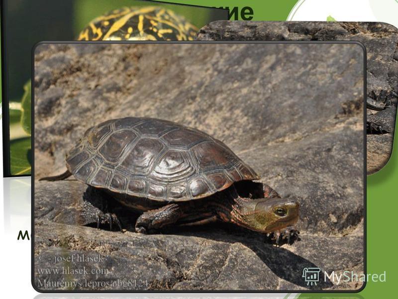 Мавританские черепахи Мавританские черепахи живут 150 лет. Вполне возможно, что они доживут и до двух веков. В настоящее время численность этих животных достигла критического уровня, поэтому мавританская черепаха включена в Красную книгу России.