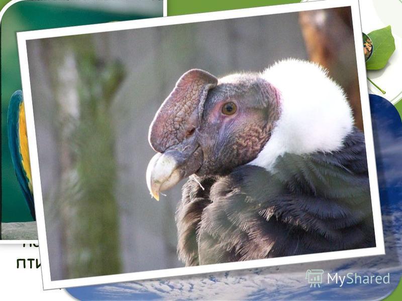 Попугаи и орлы Среди птиц долгожители попугаи и орлы. Считается, что они живут более 100 лет. Но научных доказательств этому не существует. Орнитологи, проводившие исследования в этой области, выделили наиболее долгоживущие виды птиц: орел 55 лет, по