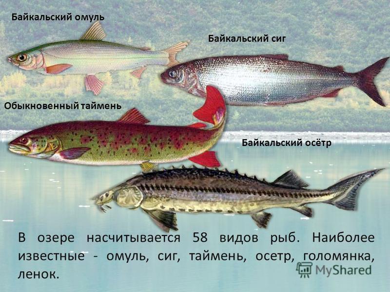 В озере насчитывается 58 видов рыб. Наиболее известные - омуль, сиг, таймень, осетр, голомянка, ленок. Байкальский омуль Байкальский сиг Обыкновенный таймень Байкальский осётр