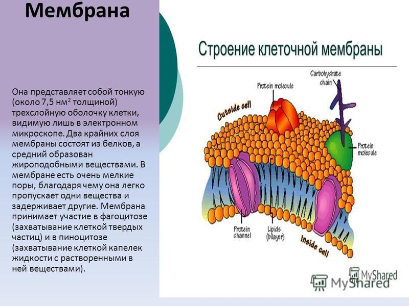 Мембрана Она представляет собой тонкую (около 7,5 нм 2 толщиной) трехслойную оболочку клетки, видимую лишь в электронном микроскопе. Два крайних слоя мембраны состоят из белков, а средний образован жироподобными веществами. В мембране есть очень мелк