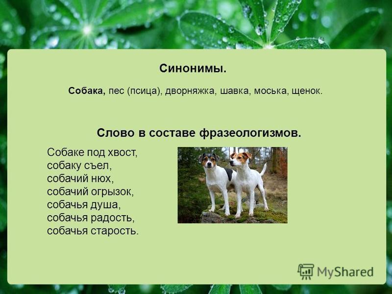Синонимы. Собака, пес (псица), дворняжка, шавка, моська, щенок. Слово в составе фразеологизмов. Собаке под хвост, собаку съел, собачий нюх, собачий огрызок, собачья душа, собачья радость, собачья старость.