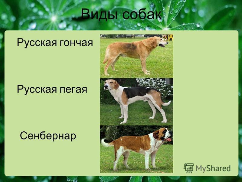 Виды собак Русская гончая Русская пегая Сенбернар