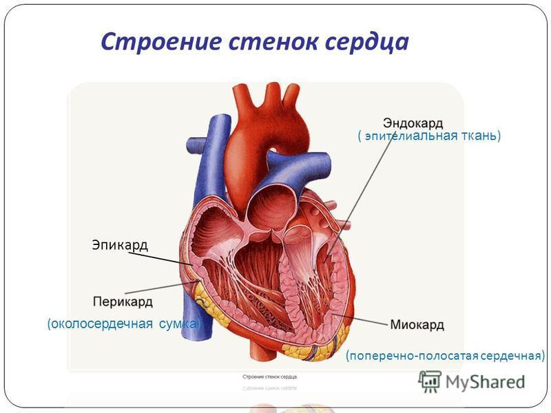 ( околосердечная сумка ) (поперечно-полосатая сердечная) ( эпителиальная ткань ) Эпикард Строение стенок сердца