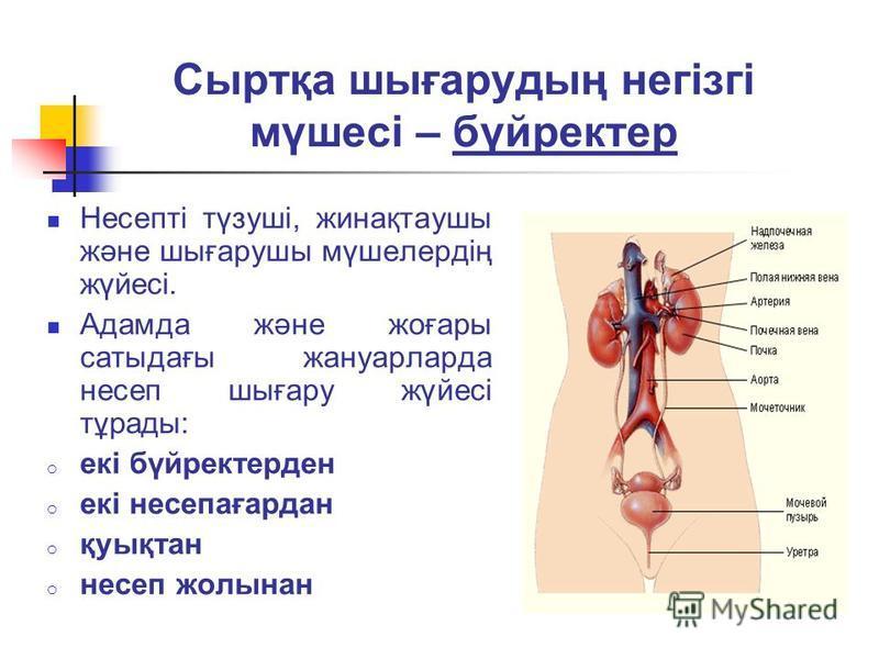 Сыртқа шығарудың негізгі мүшесі – бүйректер Несепті түзуші, жинақтаушы және шығарушы мүшелердің жүйесі. Адамда және жоғары сатыдағы жануарларда несеп шығару жүйесі тұрады: o екі бүйректерден o екі несепағардан o қуықтан o несеп жолынан