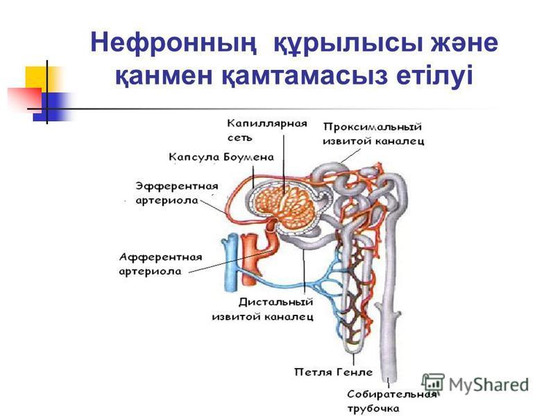 Нефронның құрылысы және қанмен қамтамасыз етілуі