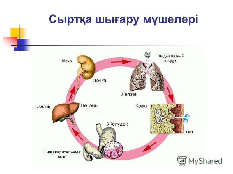 Сыртқа шығару мүшелері
