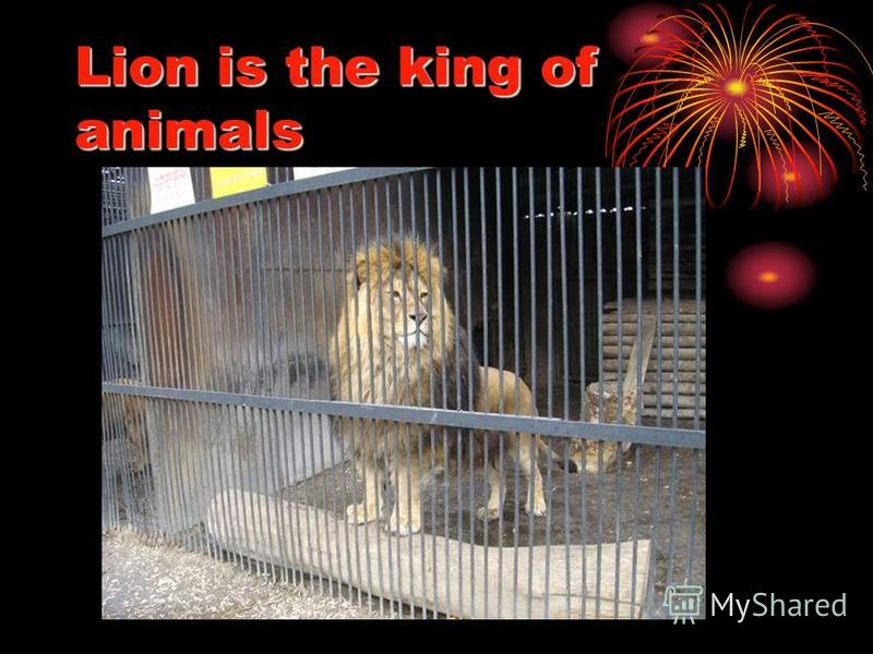 Lion is the king of animals