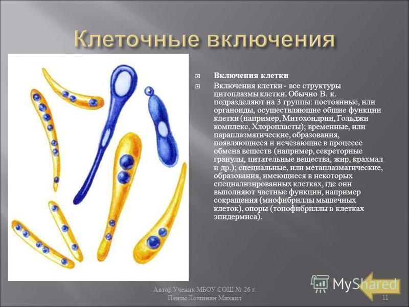 Автор Ученик МБОУ СОШ 26 г. Пензы Лощинин Михаил 11 Включения клетки Включения клетки - все структуры цитоплазмы клетки. Обычно В. к. подразделяют на 3 группы : постоянные, или органоиды, осуществляющие общие функции клетки ( например, Митохондрии, Г