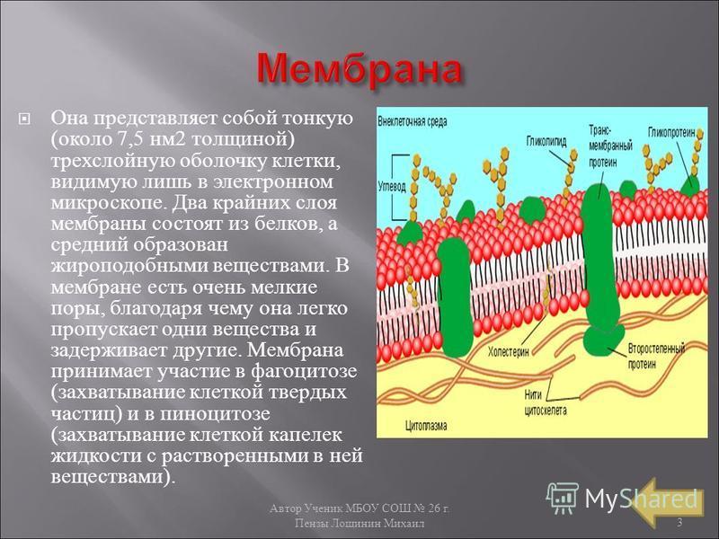 Автор Ученик МБОУ СОШ 26 г. Пензы Лощинин Михаил 3 Она представляет собой тонкую ( около 7,5 нм 2 толщиной ) трехслойную оболочку клетки, видимую лишь в электронном микроскопе. Два крайних слоя мембраны состоят из белков, а средний образован жироподо