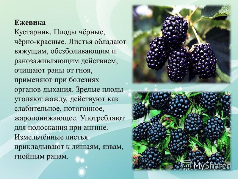 Ежевика Кустарник. Плоды чёрные, чёрно-красные. Листья обладают вяжущим, обезболивающим и ранозаживляющим действием, очищают раны от гноя, применяют при болезнях органов дыхания. Зрелые плоды утоляют жажду, действуют как слабительное, потогонное, жар