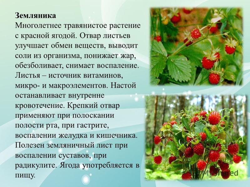 Земляника Многолетнее травянистое растение с красной ягодой. Отвар листьев улучшает обмен веществ, выводит соли из организма, понижает жар, обезболивает, снимает воспаление. Листья – источник витаминов, микро- и макроэлементов. Настой останавливает в