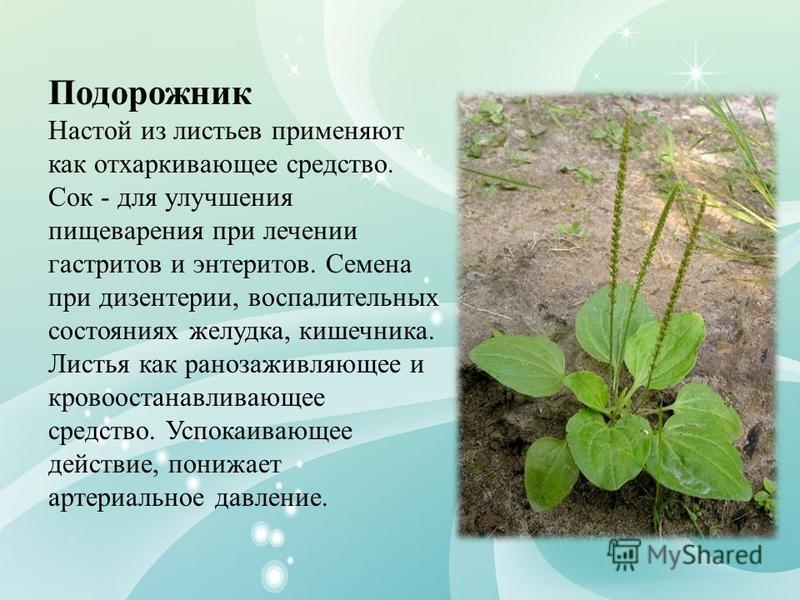 Подорожник Настой из листьев применяют как отхаркивающее средство. Сок - для улучшения пищеварения при лечении гастритов и энтеритов. Семена при дизентерии, воспалительных состояниях желудка, кишечника. Листья как ранозаживляющее и кровоостанавливающ