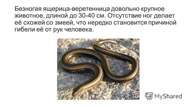 Безногая ящерица-веретенница довольно крупное животное, длиной до 30-40 см. Отсутствие ног делает её схожей со змеей, что нередко становится причиной гибели её от рук человека.