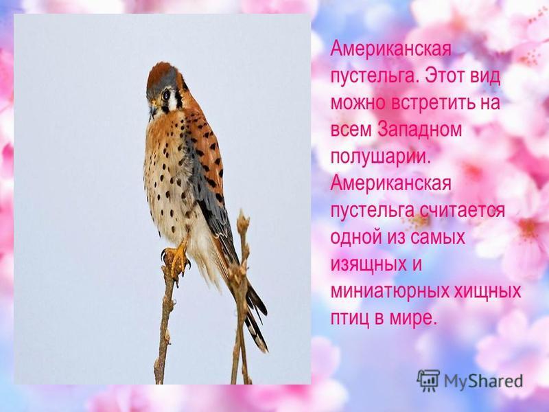 Американская пустельга. Этот вид можно встретить на всем Западном полушарии. Американская пустельга считается одной из самых изящных и миниатюрных хищных птиц в мире.