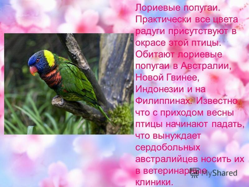 Лориевые попугаи. Практически все цвета радуги присутствуют в окрасе этой птицы. Обитают лориевые попугаи в Австралии, Новой Гвинее, Индонезии и на Филиппинах. Известно, что с приходом весны птицы начинают падать, что вынуждает сердобольных австралий