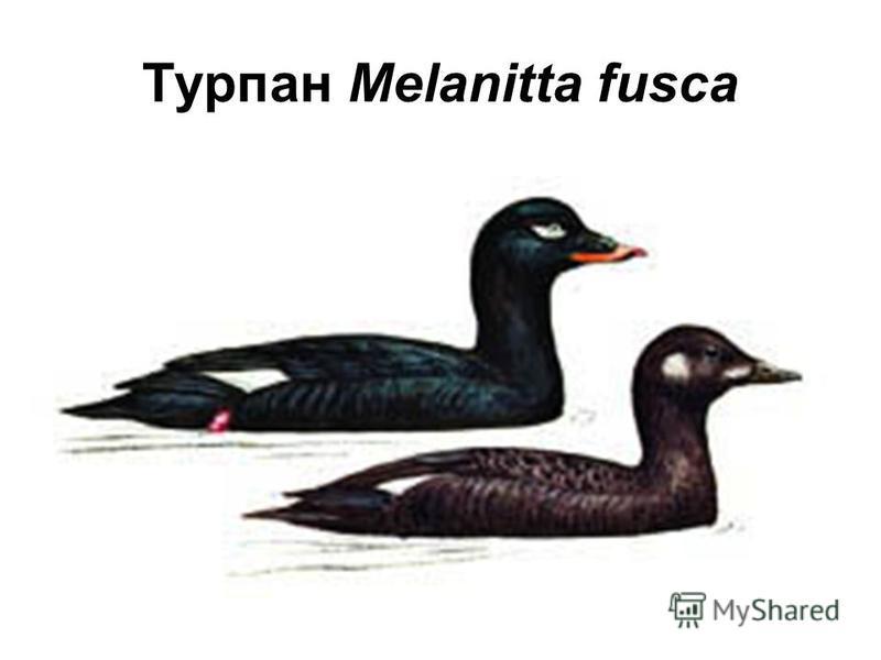 Турпан Melanitta fusca